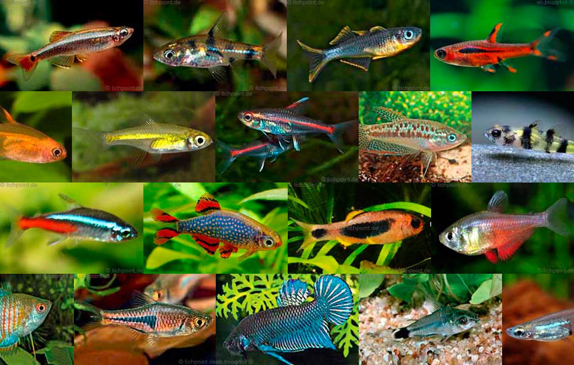 Nano Fische - 21 Arten für Nanoaquarien im Porträt
